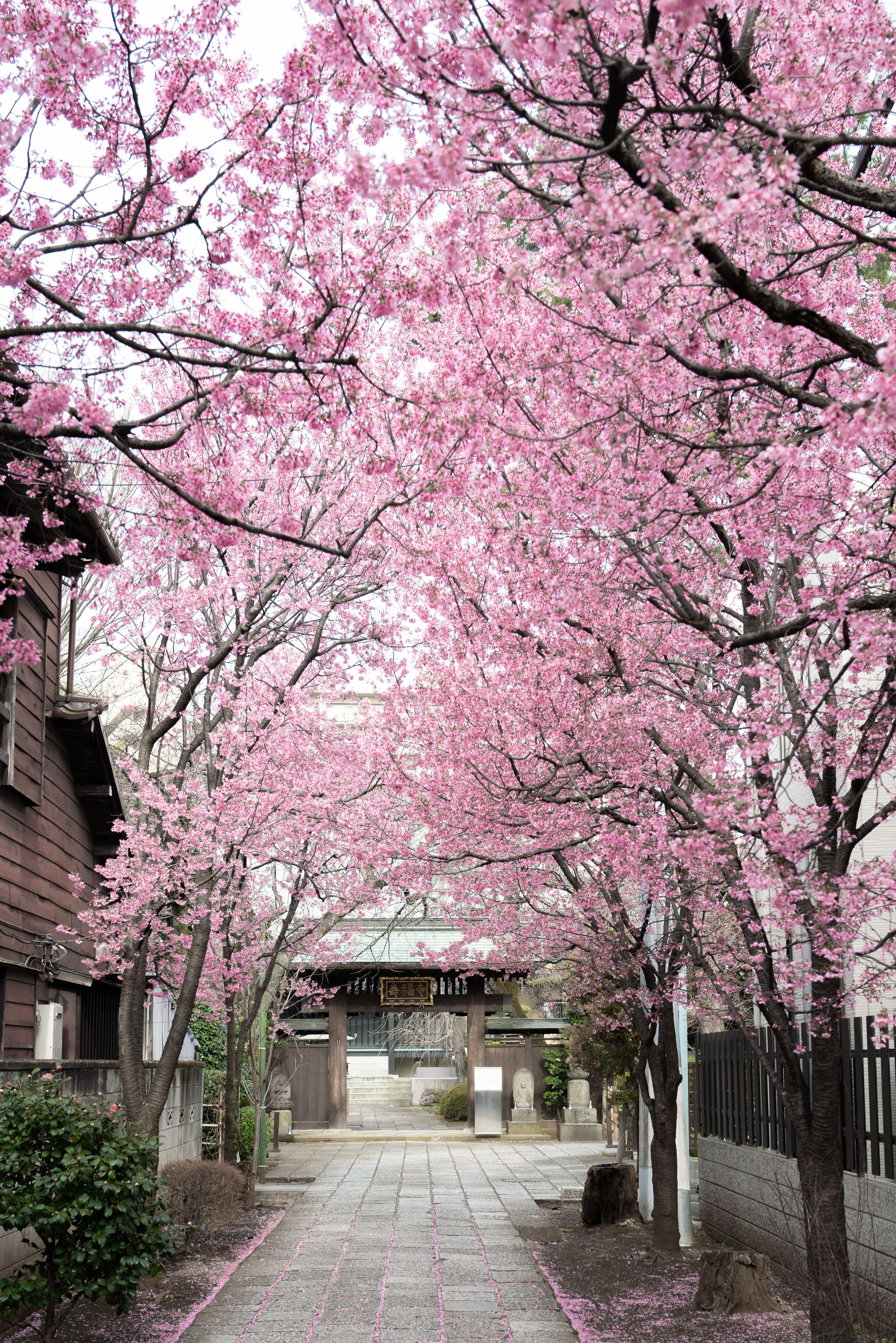 Blossom season in Japan make a great destination to travel in Sping